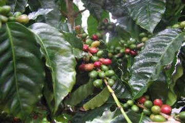 Kona Coffee ready to harvest