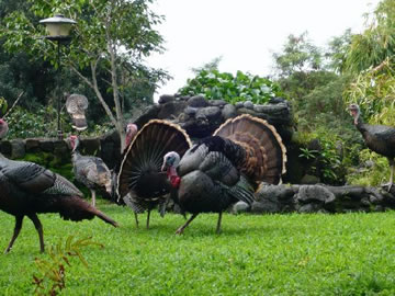 Wild Turkeys at bird watching